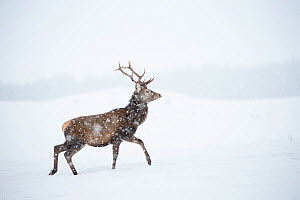 Red deer, (Cervus elaphus), stag in falling snow on moorland, Scotland, UK.February - SCOTLAND: The Big Picture