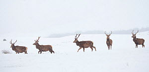 Red deer, (Cervus elaphus), stags in snow on moorland, Scotland, UK.February - SCOTLAND: The Big Picture