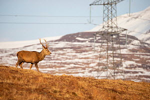 Red deer, (Cervus elaphus), stag on moor with electricity plylon in background, Scotland, UK.February - SCOTLAND: The Big Picture