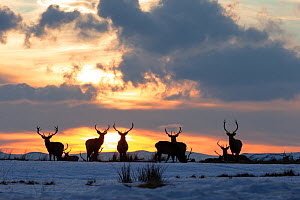 Red deer, (Cervus elaphus), stags silhouetted at sunset in winter, Scotland, UK.February - SCOTLAND: The Big Picture