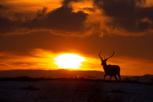 Red deer, (Cervus elaphus), stag silhouetted at sunset in winter, Scotland, UK.February - SCOTLAND: The Big Picture