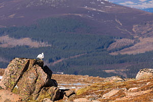 Ptarmigan, (Lagopus mutus) , wide view of winter plumage bird perched on rock, Cairngorms, Scotland, UK.February - SCOTLAND: The Big Picture