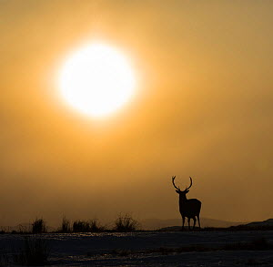 Red deer, (Cervus elaphus), stag silhouetted at sunset, Scotland, UK.February  -  SCOTLAND: The Big Picture