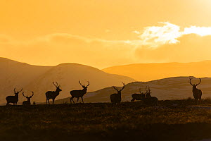 Red deer, (Cervus elaphus), stags silhouetted at sunset, Scotland, UK, February. - SCOTLAND: The Big Picture