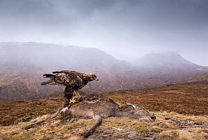 Golden eagle, (Chrysaetos aquila) , adult feeding on Red deer (Cervus elaphas) carcass, Isle of Skye, Scotland, UK.March - SCOTLAND: The Big Picture