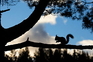 Red squirrel, (Sciurus vulgaris), silhouetted on pine branch, Scotland, UK, March. - SCOTLAND: The Big Picture