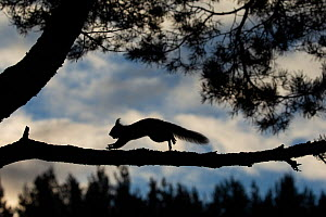 Red squirrel, (Sciurus vulgaris) silhouetted running along pine branch, Scotland, UK, March. - SCOTLAND: The Big Picture