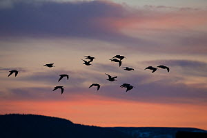 Curlew (Numenius arquata), flock flying into roost site at dusk, Scotland, UK.March (This image may be licensed either as rights managed or royalty free.)  -  SCOTLAND: The Big Picture