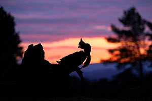 Red squirrel, (Sciurus vulgaris), silhouetted on stump at dawn, Scotland, UK.March  -  SCOTLAND: The Big Picture