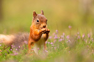 Red squirrel (Sciurus vulgaris), summer coat, feeding on nut amongst heather, Scotland, UK.August - SCOTLAND: The Big Picture