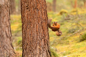 Red squirrel (Sciurus vulgaris), two animals fighting, while falling, Scotland, UK, August. - SCOTLAND: The Big Picture