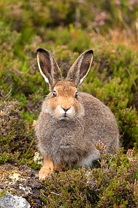 Mountain hare (Lepus timidus), sub-adult in summer coat on moorland, Scotland, UK, August.  -  SCOTLAND: The Big Picture
