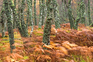 Bracken (Pteridium aquilinum) in Birch woodland (Betula pendula) in late autumn, Scotland, UK, October.  -  SCOTLAND: The Big Picture