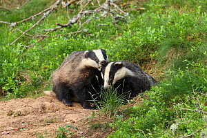 Badger (Meles meles), cub pulling the ear of sibling, June, Scotland, UK., August. - SCOTLAND: The Big Picture