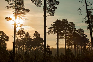 Scot's Pine forest (Pinus sylvestris) at sunrise, Cairngorms National Park, Scotland, UK, July. - SCOTLAND: The Big Picture
