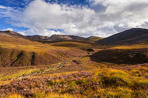 RF - Heather moorland in the foothills of the Cairngorm mountains , Scotland, UK.August (This image may be licensed either as rights managed or royalty free.) - SCOTLAND: The Big Picture