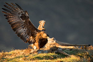 RF - Golden Eagle (Aquila chrysaetos) adult feeding on roe deer carcass, Isle of Skye, Scotland, UK.February (This image may be licensed either as rights managed or royalty free.) - SCOTLAND: The Big Picture