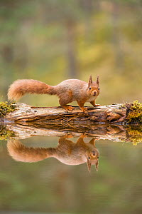 RF - Red Squirrel (Sciurus vulgaris), at woodland pond , Scotland, UK.April (This image may be licensed either as rights managed or royalty free.)  -  SCOTLAND: The Big Picture