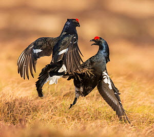 RF - Black Grouse (Tetrao tetrix), two males fighting on lek , Scotland, UK.April (This image may be licensed either as rights managed or royalty free.) - SCOTLAND: The Big Picture