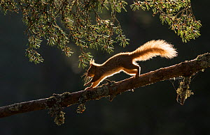 RF - Red squirrel, (Sciurus vulgaris), backlit on pine branch, Cairngorms National Park, Scotland, UK.May (This image may be licensed either as rights managed or royalty free.) - SCOTLAND: The Big Picture