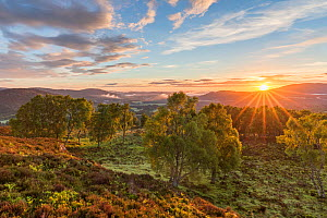 RF - Sunrise over birch woodland, Cairngorms National Park, Scotland, UK.June (This image may be licensed either as rights managed or royalty free.)  -  SCOTLAND: The Big Picture