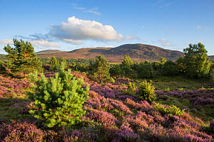 RF - Flowering heather moor and scattered pine and birch, Tulloch Moor, Cairngorms National Park, Scotland, UK.August (This image may be licensed either as rights managed or royalty free.) - SCOTLAND: The Big Picture
