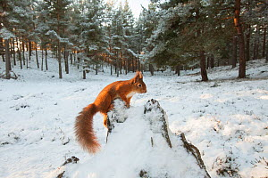 RF - Red squirrel, (Sciurus vulgaris), wide view in winter forest, Scotland, UK.December (This image may be licensed either as rights managed or royalty free.) - SCOTLAND: The Big Picture