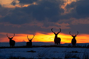 RF - Red deer, (Cervus elaphus), stags silhouetted at sunset in winter, Scotland, UK.February (This image may be licensed either as rights managed or royalty free.) - SCOTLAND: The Big Picture