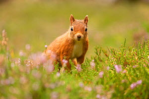 RF - Red squirrel (Sciurus vulgaris), summer coat, close-up looking at camera, amongst flowering heather, Scotland, UK.August (This image may be licensed either as rights managed or royalty free.) - SCOTLAND: The Big Picture
