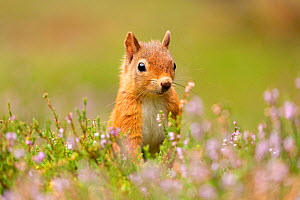 RF - Red squirrel (Sciurus vulgaris), summer coat, close-up amongst flowering heather, Scotland, UK.August (This image may be licensed either as rights managed or royalty free.) - SCOTLAND: The Big Picture