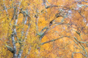 RF - Birch trees (Betula pendula) woodland impression, Cairngorms National Park, Scotland, UK.November (This image may be licensed either as rights managed or royalty free.)  -  SCOTLAND: The Big Picture