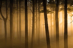 RF - Sunlight splintering through misty pine forest at sunset, Glencharnoch Wood, Cairngorms National Park, Scotland, UK.November (This image may be licensed either as rights managed or royalty free.) - SCOTLAND: The Big Picture