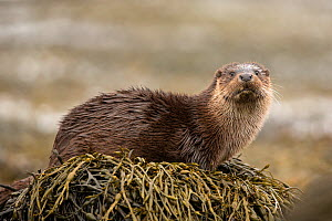 RF - European Otter (Lutra lutra), amongst kelp on shore, Scotland, UK.April (This image may be licensed either as rights managed or royalty free.) - SCOTLAND: The Big Picture