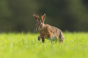 RF - Brown Hare (Lepus europaeus) running through field of grass , Scotland, UK.May (This image may be licensed either as rights managed or royalty free.)  -  SCOTLAND: The Big Picture