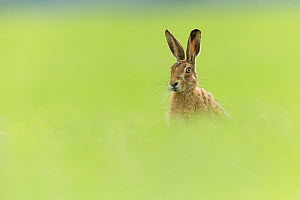 RF - Brown Hare (Lepus europaeus) sitting in field of fresh green grass , Scotland, UK.May (This image may be licensed either as rights managed or royalty free.) - SCOTLAND: The Big Picture