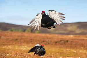 RF - Black Grouse (Tetrao tetrix) male peforming flutter jump display on lek, Cairngorms National Park, Scotland, UK.May (This image may be licensed either as rights managed or royalty free.) - SCOTLAND: The Big Picture