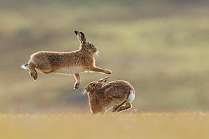RF - Brown hare, (Lepus europaeus), male and female displaying courtship behaviour, Islay, Scotland, UK., March (This image may be licensed either as rights managed or royalty free.) - SCOTLAND: The Big Picture