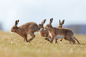 RF - Brown hare (Lepus europaeus) male pursuing female that is in season, Islay, Scotland, UK., March (This image may be licensed either as rights managed or royalty free.) - SCOTLAND: The Big Picture
