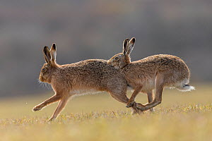 RF - Brown hare, (Lepus europaeus) male pursuing female that is in season, Islay, Scotland, UK., March (This image may be licensed either as rights managed or royalty free.)  -  SCOTLAND: The Big Picture