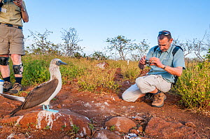 Tourist photographing Blue footed booby (Sula nebouxii Seymour Island, Galapagos. May 2011.  -  Tui De Roy