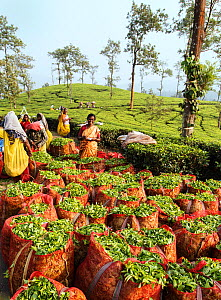 Tea (Camellia sinensis) leaves in sacks, women counting bags and picking in background. Carolyn Tea Estate, Mango Range, The Nilgiris, Tamil Nadu, India. 2014.  -  Tony Heald