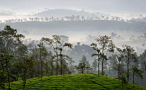 Tea (Camellia sinensis) plantation, scattered trees silhouetted on hills in background, in early morning mist. Carolyn Tea Estate, Mango Range, The Nilgiris, Tamil Nadu, India. 2014.  -  Tony Heald