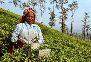 Woman harvesting Tea (Camellia sinensis) with leaf plucking shears, on plantation. Carolyn Tea Estate, Mango Range, The Nilgiris, Tamil Nadu, India. 2014.  -  Tony Heald