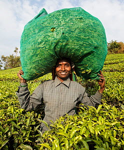 Woman carrying bag of Tea (Camellia sinensis) leaves in sack on head. Carolyn Tea Estate, Mango Range, The Nilgiris, Tamil Nadu, India. 2014.  -  Tony Heald