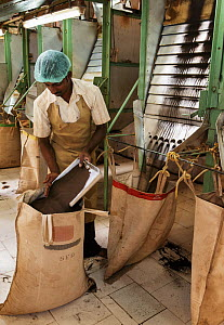 Man working at Tea (Camellia sinensis) leaf grading machine. Carolyn Tea Estate, Mango Range, The Nilgiris, Tamil Nadu, India. 2014.  -  Tony Heald