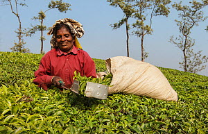 Woman harvesting Tea (Camellia sinensis) with leaf plucking shears. Carolyn Tea Estate, Mango Range, The Nilgiris, Tamil Nadu, India. 2014.  -  Tony Heald