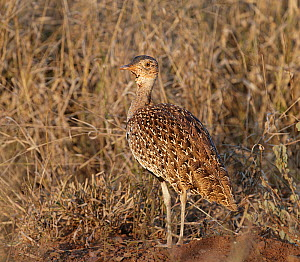 Red-creasted korhaan (Lophotis ruficrista) female. Kruger National Park, South Africa.  -  Tony Heald