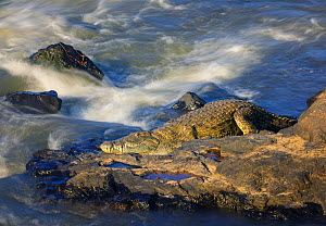 Nile crocodile (Crocodylus niloticus) basking on rock near river rapids. Kruger National Park, South Africa. - Tony Heald