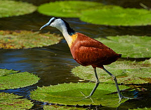 African jacana (Actophilornis africanus) walking of Lily pads. Kruger National Park, South Africa.  -  Tony Heald