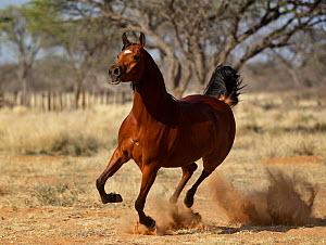 Chestnut Arabian horse cantering with dust flying. Namibia.  -  Tony Heald